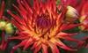 Dahlia labella Maggiore Fire Plants