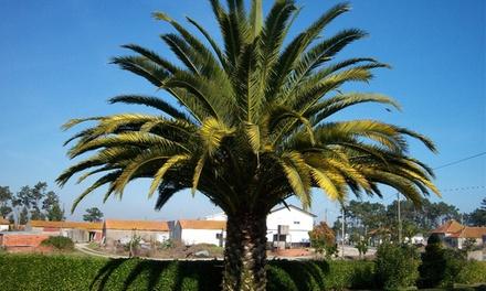 3 ou 6 palmiers dextérieur, résistants au froid avec un fertilisant pour palmier en option
