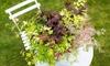 """1 ou 2 plants d'érables japonais multicolores """"Festival"""" en pot"""