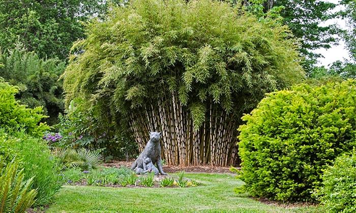 bambous fargesia rufa 30 40 cm groupon shopping. Black Bedroom Furniture Sets. Home Design Ideas