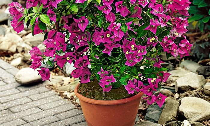 Boungaville fiorita 120 cm groupon goods for Bouganville in vaso prezzo
