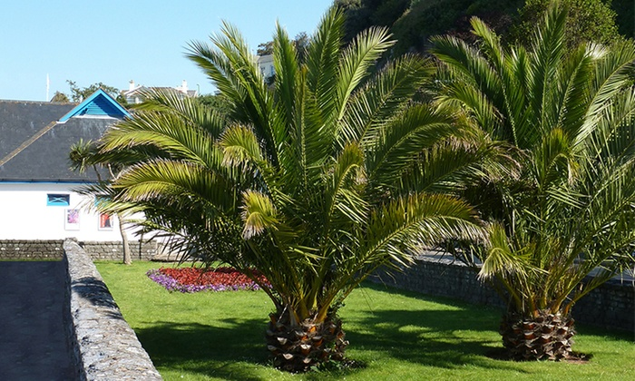 One or Two Large Phoenix Palms and Pots (£13.98)