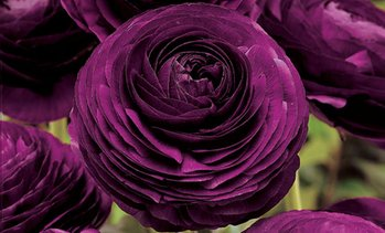 Pre-Order: Purple Buttercup Bulbs (40-Pack)