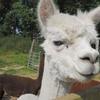 Feed the Alpacas, Tour and Adoption