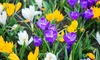 Crocus Botanical - 46 Bulbs
