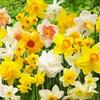 Daffodil All Spring Long Extravaganza Mix (25 Bulbs)