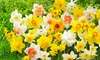 Daffodil All Spring Long Extravaganza Mix (25 Bulbs): Daffodil All Spring Long Extravaganza Mix (25 Bulbs)