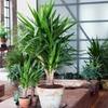 4 verschiedene Zimmer-Palmen