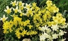20, 40 or 80 Narcissus Miniature Mixed Bulbs