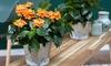 2 o 4 piante di Crossandra Fortuna