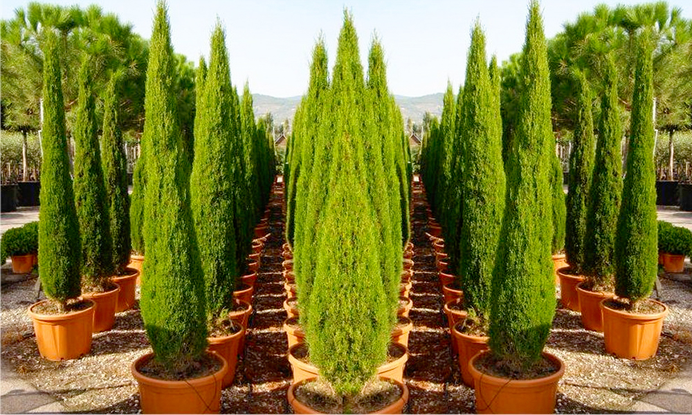 Two Van Gogh Cypress Trees Groupon Goods