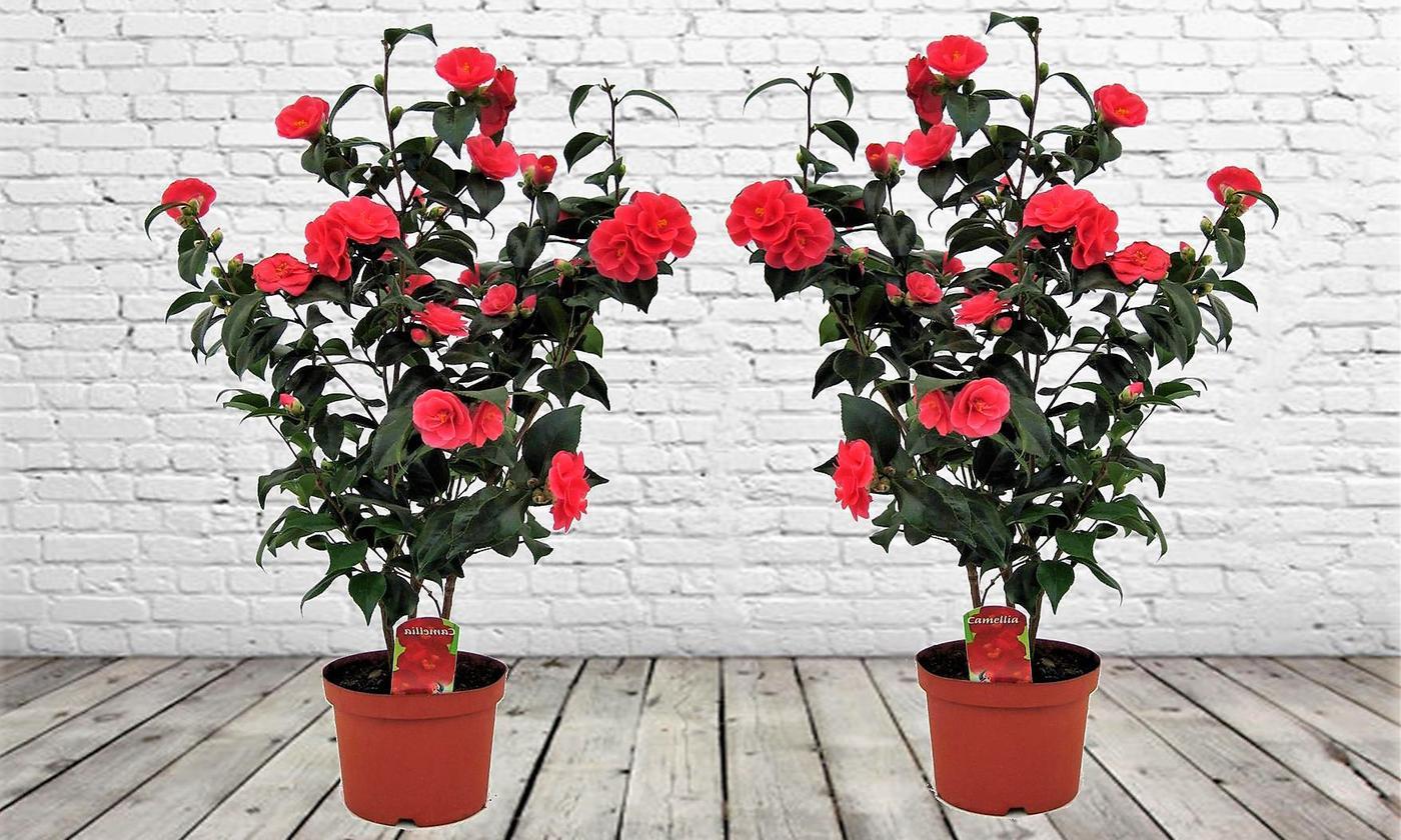 Two Camellia Japonica Bushes