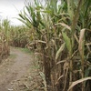 $8 for All-Day Corn-Maze Pass for Two in Clinton