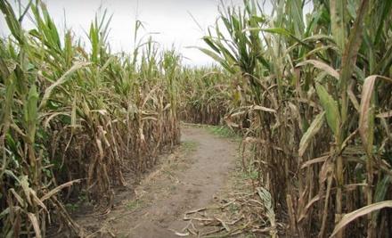 Hubb's Corn Maze - Hubb's Corn Maze in Clinton