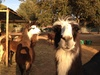 Var Lamas - Six-Fours-les-Plages: Randonnée avec des lamas à 29,90 € au Var Lamas