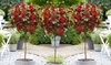 Roses de thé hybrides