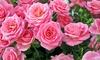 Groupon Goods Global GmbH: Five Glamour Floribunda Bare Roots with Optional Pots