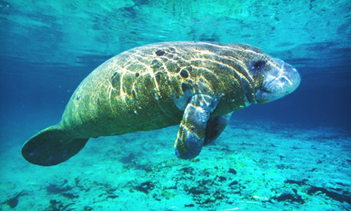 Adventure Diving - Crystal River: Guided Manatee Snorkel Tour for One or Two from Adventure Diving in Crystal River (Up to 55% Off)