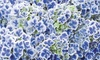 One, Two or Three Hydrangea Bicolor Blue and White Plants