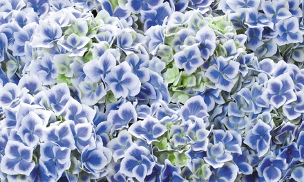 Hydrangea Bicolor Blue and White: One, Two or Three Plants