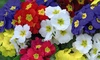 Polyanthus Most Scented Mix - 30 Garden-Ready Plants