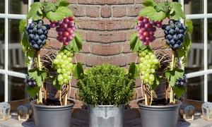 3 à 6 pieds de vignes 30-40cm