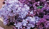 Lilac Duo Collection 9cm Potted Plants