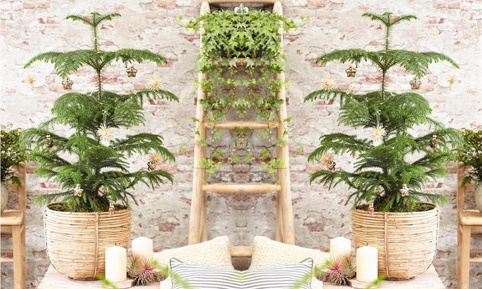 Plantes d'intérieur Araucaria | Groupon Shopping