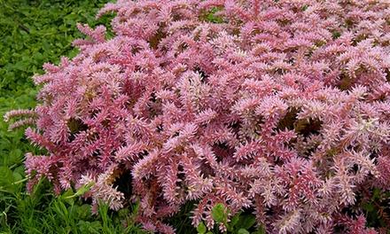 9 or 12 Widow's Cross Plants