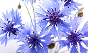 The Dirty Gardener Montana Cornflower Bachelors Button Flower Seeds