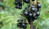 One or Three Blackcurrant Summer Pearls Patio 9cm Pot