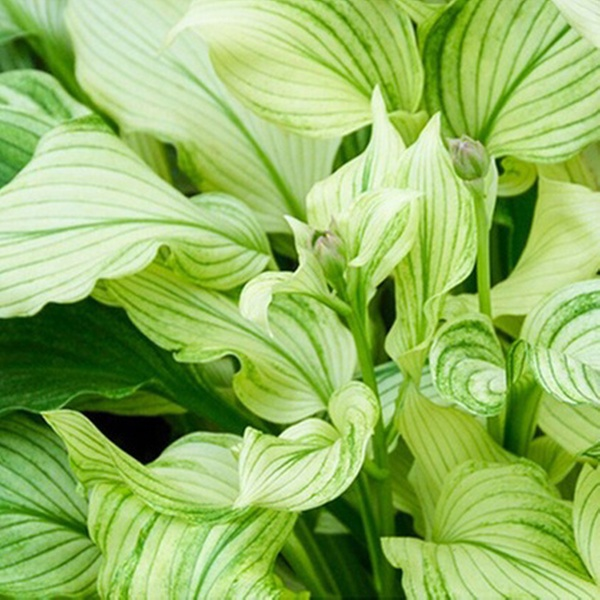 Hosta White Feather Bare Root Plant 3 6 Or 12 Pack Groupon