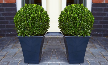 Two or Four Buxus Topiary Balls with Optional Feed or Planters from £24.99 With Free Delivery