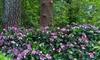 Hydrangea Endless Summer Plant 3L