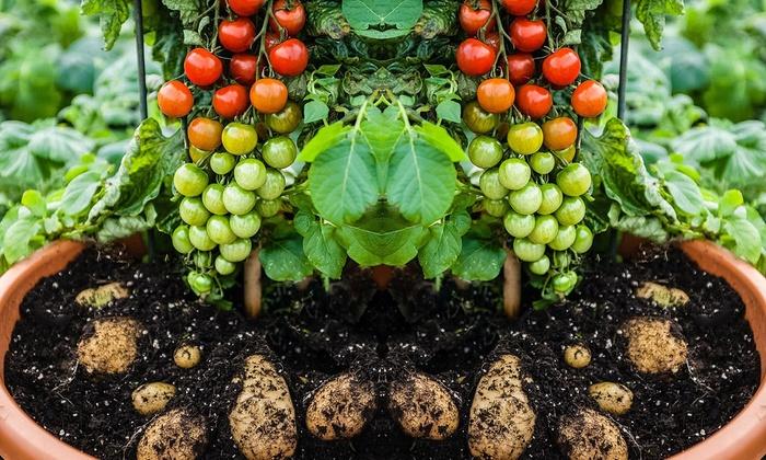 jusqu 39 63 1 et 2 tomates 39 tomtato 39 20 30 cm groupon. Black Bedroom Furniture Sets. Home Design Ideas
