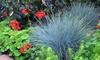 3 o 6 piante di Festuca Glauca