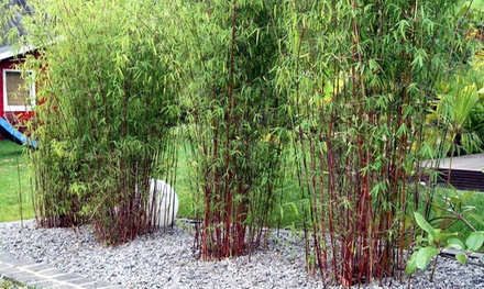 Set di 3 bambù rossi