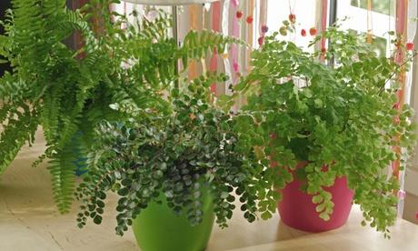 Conjunto de 3 o 6 diferentes plantas de Helecho Culantrillo