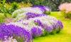 Three, Six or Nine Luscious Lavender Plants