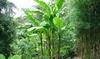 Tropische bananenplanten