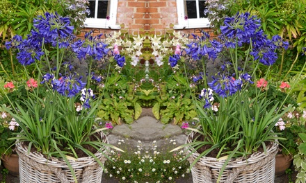 Agapanthus Flower of Love 1, 2 or 4 plants from £8.99 With Free Delivery (Up to 51% Off)