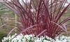 Set di 2 piante Cordilinea
