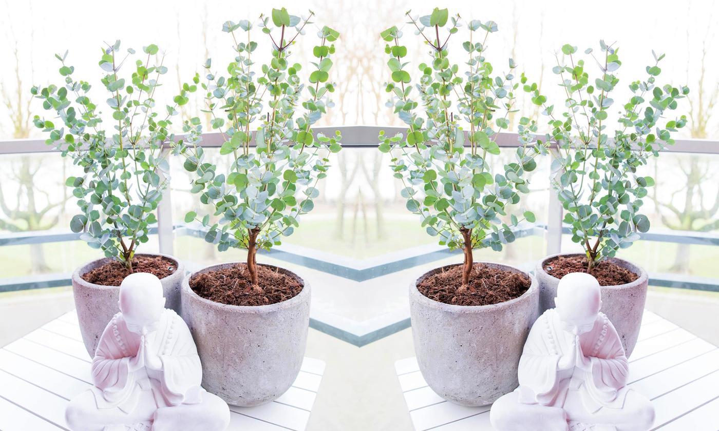 Two, Four or Six Eucalyptus Azura Plants