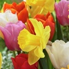 Tulip and Daffodil Pot Luck Bulb Mix (50-Piece)