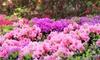 1 à 3 plants de rhododendron 'Wine and Roses' 25-30 cm