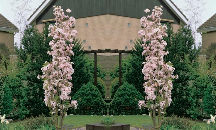 jusqu 39 48 plants de cerisier 39 amanogawa 39 groupon. Black Bedroom Furniture Sets. Home Design Ideas