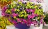 6 piante di petunia nana