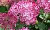 Planta de flores XL Hydrangea 'Ruby Annabelle'