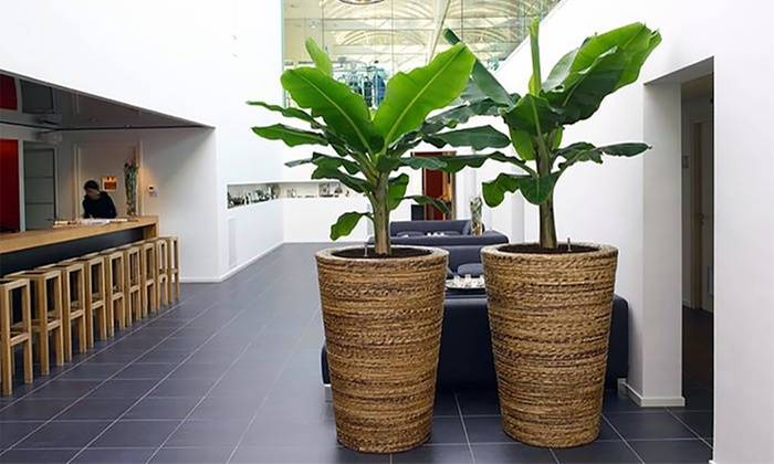 jusqu\'à 72% Plantes de bananier   Groupon