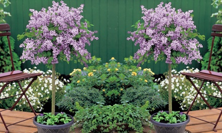 Scented Hardy Dwarf Lilac Standard Tree 1 or 2 Plants in 2litre Pot